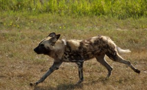 An African Wild Dog trotting across the landscape.