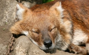 A Dhole asleep in the sun