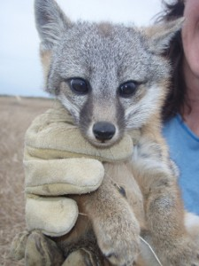 A Island Fox Kit, held in a researcher's hand.