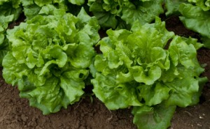 Heads of lettuce growing on a farm.