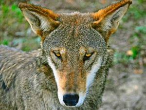 A Red Wolf glaring balefully at the camera.