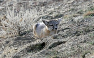 A San Joaquin Kit Fox hunched down, looking alertly towards the camera.