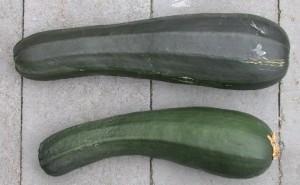 Two zucchini squash