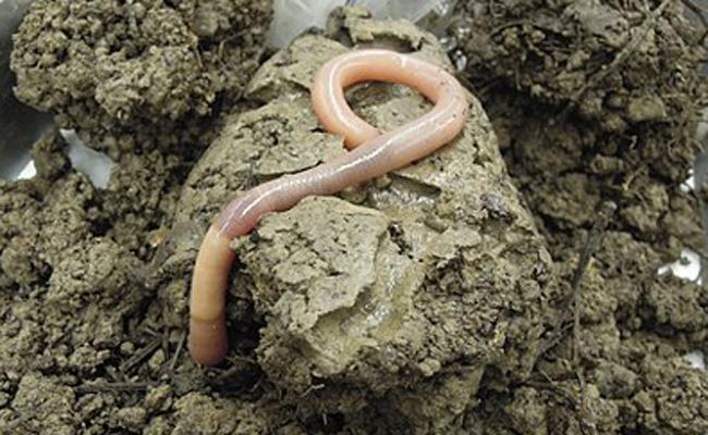 giant palouse earthworm