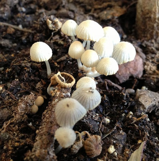 growing mushrooms coffee grounds