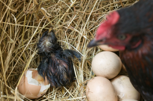 Chickens talk to their unborn babies