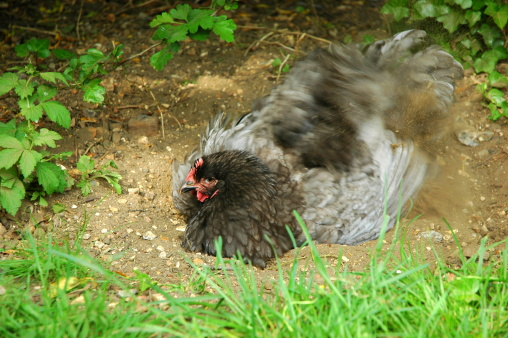Chickens LOVE dust baths