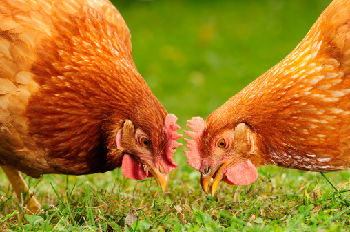 Chickens slurp grass like spaghetti