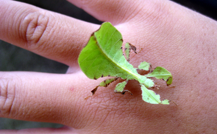 A leaf insect resting on a person's hand.