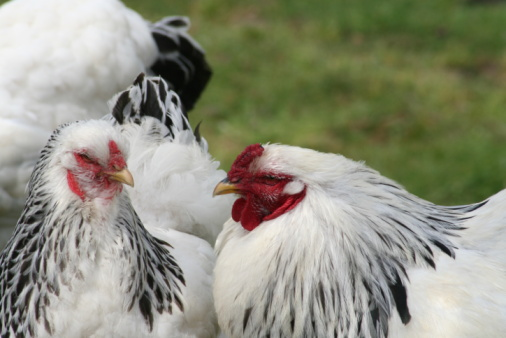 Chickens have complex communication with specific meanings