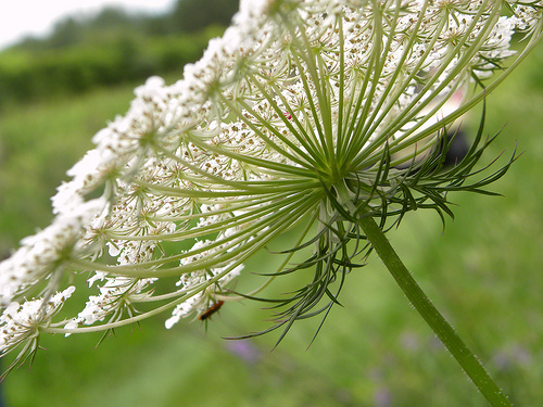 Edible Weeds Queen Annes Lace