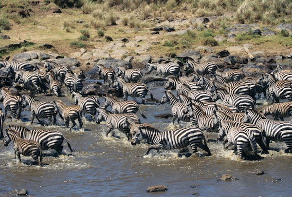 Zebras migrating across a river