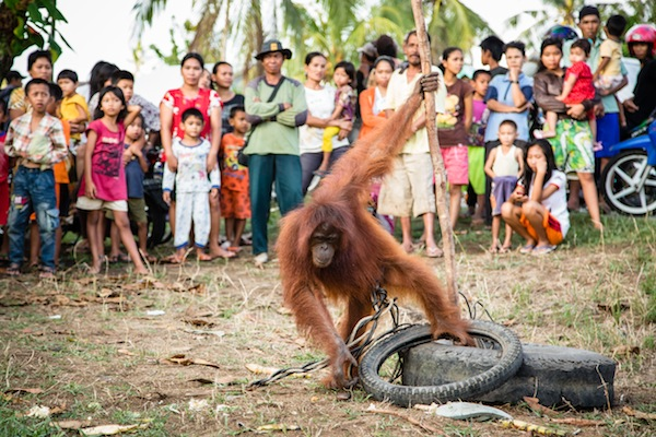 Orangutan tied up while villagers watch