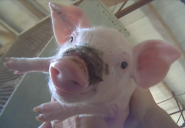 An abused piglet from West Coast Farms