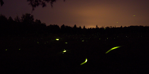 BioLuminescence Fireflies