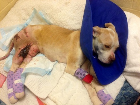 Injured pit bull recovering