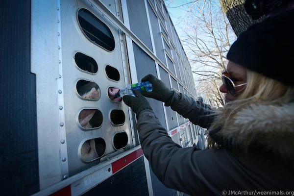 Activist gives thirsty pig some bottled water