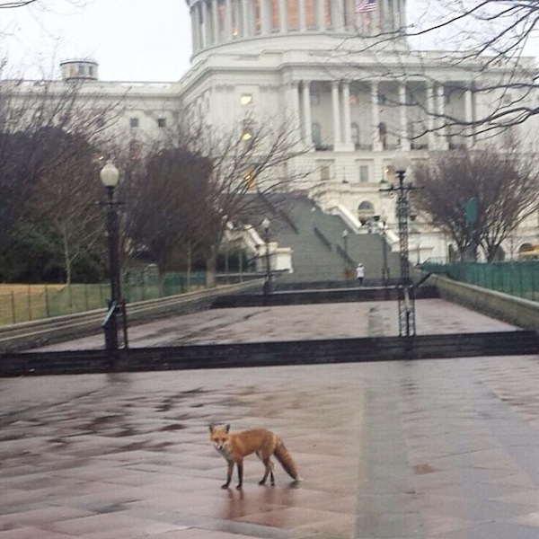 A red fox on Capitol grounds