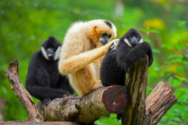 gibbon