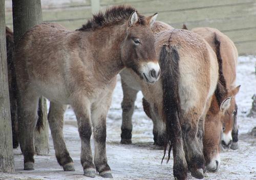 A herd of Przewalski's Horses in a snowy paddock.