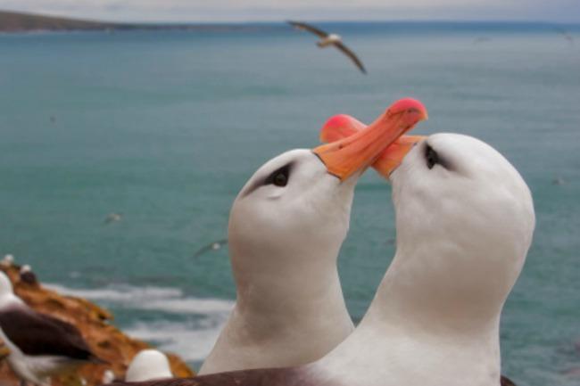 albatros courtship