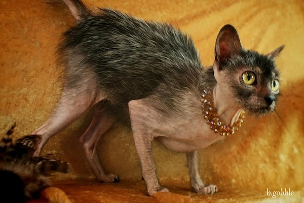 "The Lykoi or ""Werewolf Cat"""