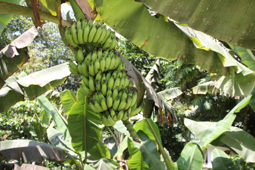 Bananas on the plant
