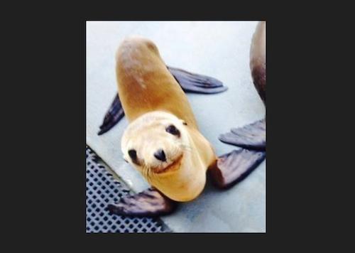 Hoppie the sea lion pup