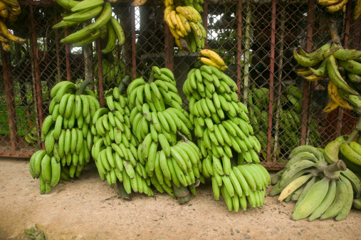 Freshly picked bananas