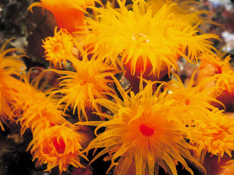 orange coral