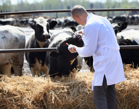 Vet checking cattle
