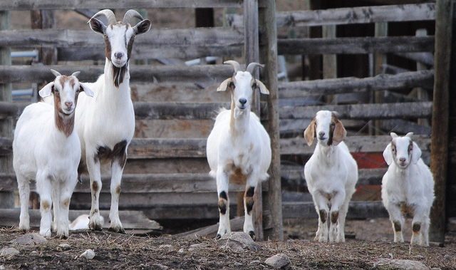 A row of goats of different ages and sizes.