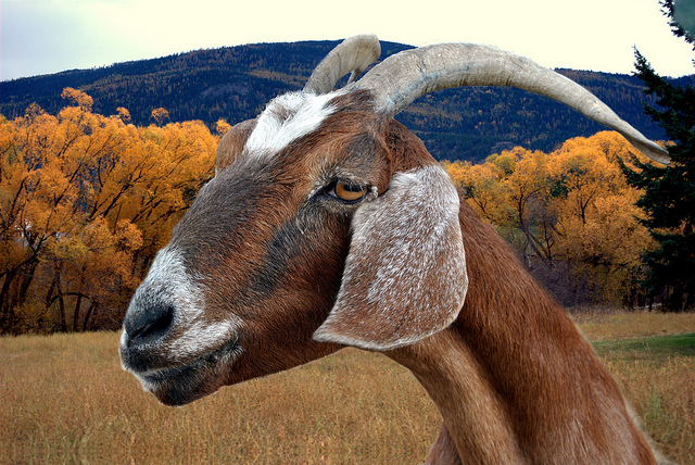 A closeup of the face of a goat with lovely curved horns.