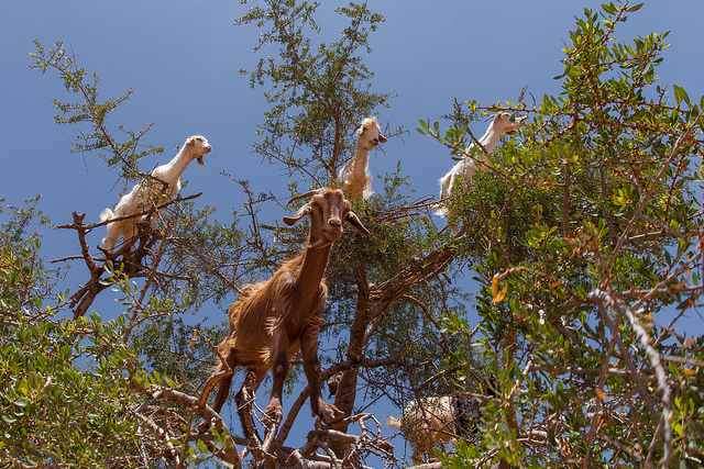 Goats standing in an argan tree in Morocco, eating the foliage.