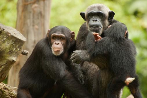 chimapanzees