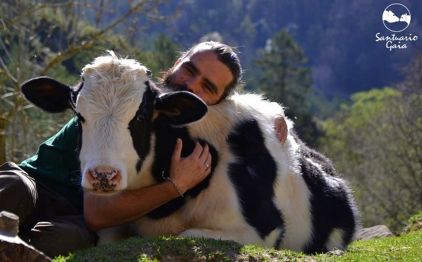 Anyone who has visited a farm animal sanctuary will tell you that cows are extremely affectionate and loving creatures.