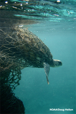 A sea turtle caught in a ghost net