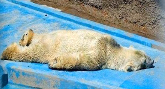 depressed bear lies in sun