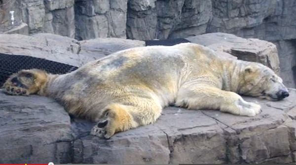 polar bear lies on stones