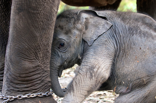 baby elephant by chained mother