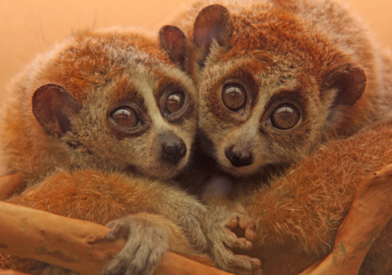 two lorises together