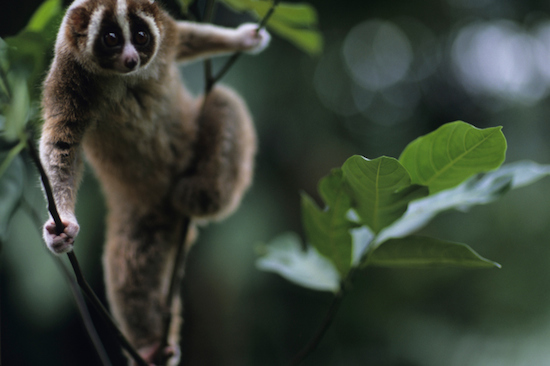 slow loris in the wild