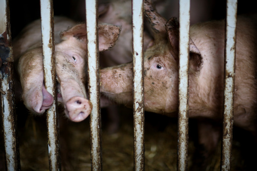 pigs confined