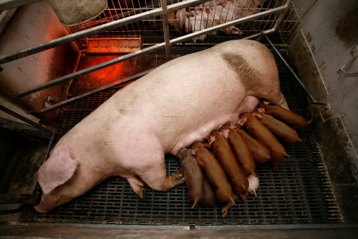 pig and piglets in gestation crate
