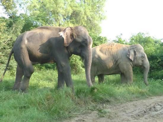 raju and laxmi, rescued elephants