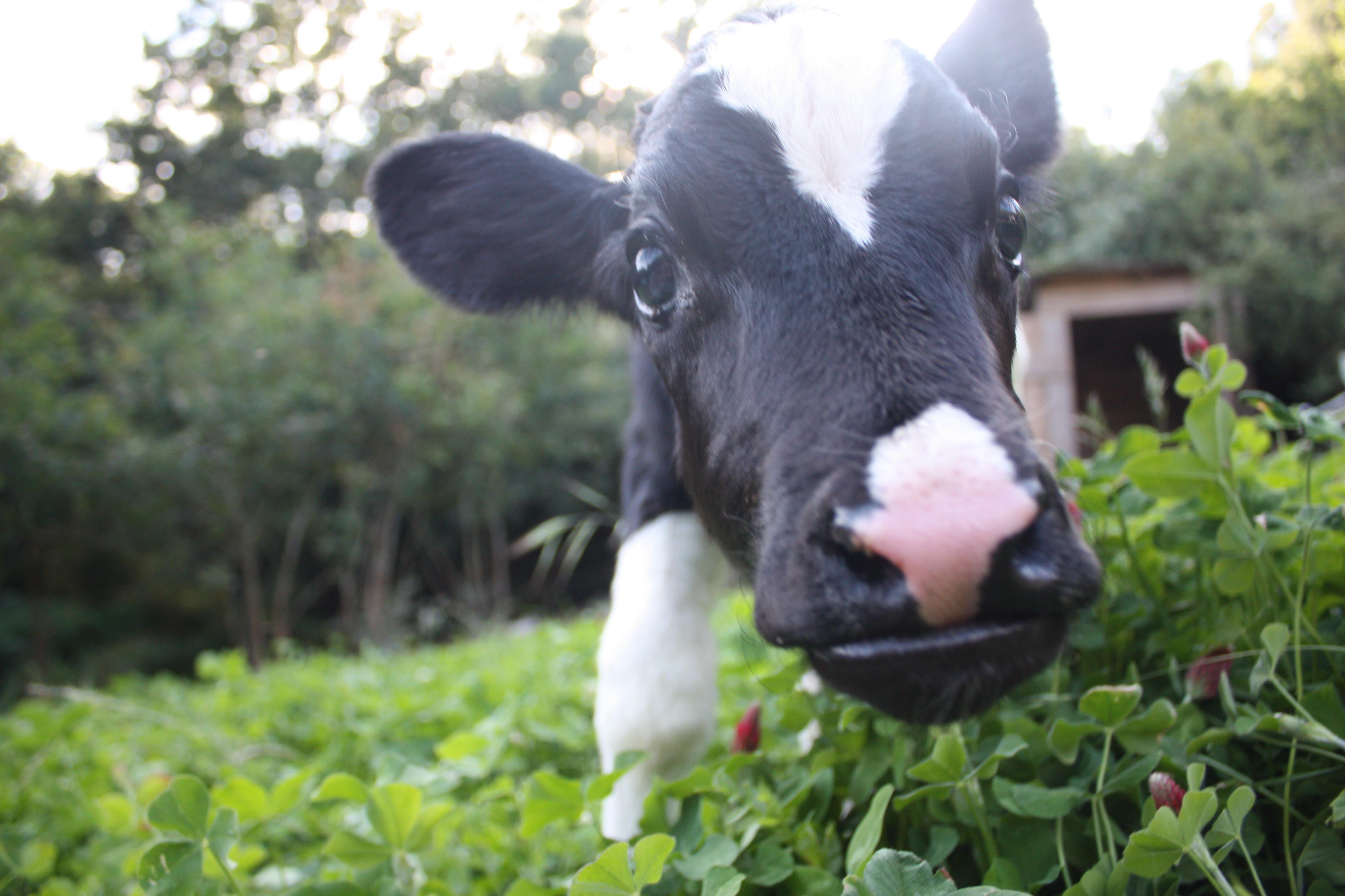 Luna the calf