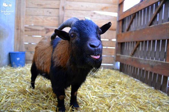 Juan Carlos the goat