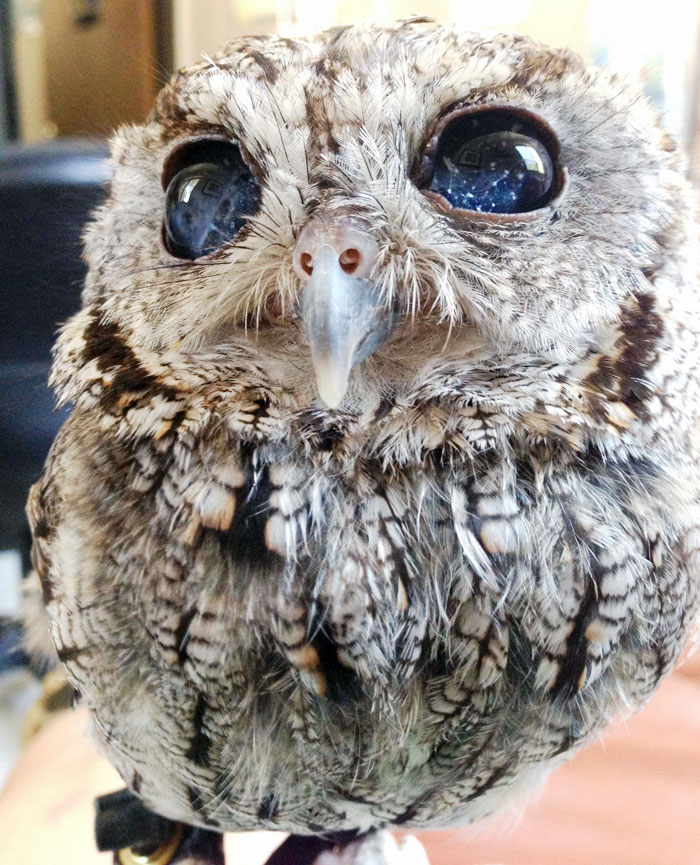 rescued-blind-owl-zeus-6