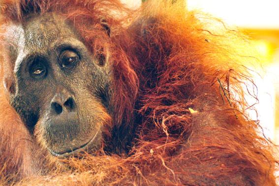 The Borneo Orangutan Survival Foundation
