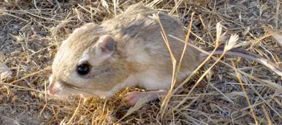 The endangered Giant Kangaroo Rat.  Photo credit: U.S. Fish and Wildlife